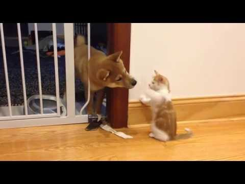 Cutest puppy and kitten fight (Shiba Inu)