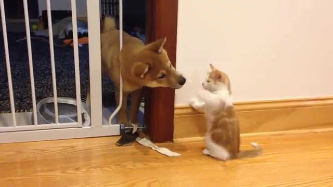 Cutest puppy and kitten fight Shiba Inu