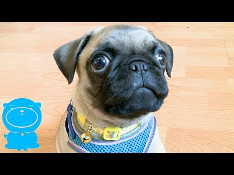 Ridiculously Cute Pug Puppy Chases The Camera
