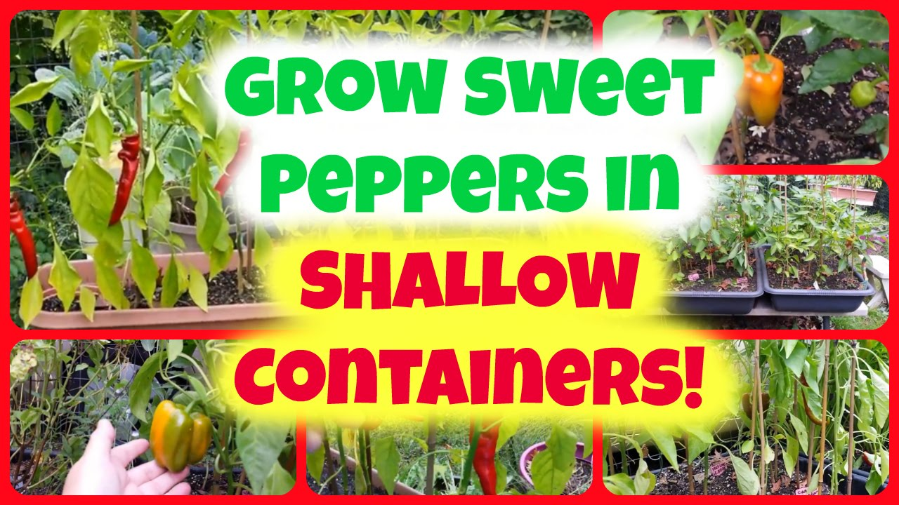 Watch How to Grow Mini Peppers from Seed video
