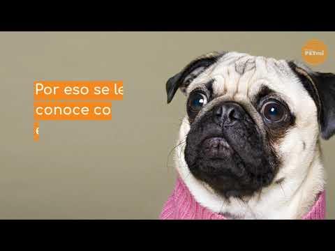 Razas de Perro: El Pug