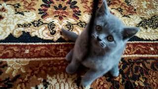 АСМР Британские кошки - ASMR British Cats - Слушать строго в наушниках!