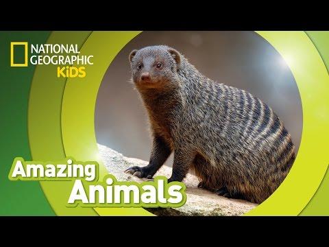 Banded Mongoose | AMAZING ANIMALS