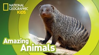 Banded Mongoose | Amazing Animals