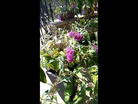 Xylocopa violacea  su Buddleja Royal red