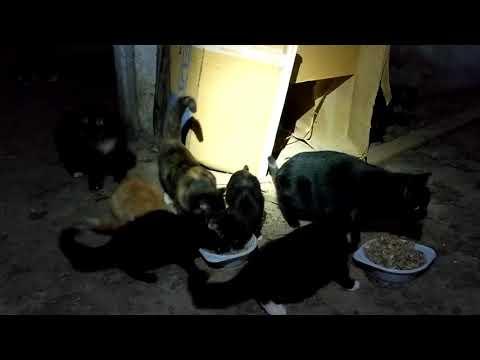 Дикие кошки Чукотки