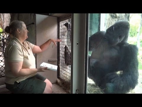 Thumbnail: Angry Gorilla Patrick, Evicted From Dallas Zoo, Moving To SC Riverbanks Zoo For Therapy