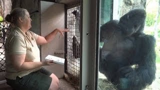 Angry Gorilla Patrick, Evicted From Dallas Zoo, Moving To SC Riverbanks Zoo For Therapy