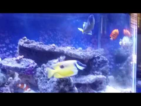 Tips for choosing fish in your saltwater aquarium. Hand feeding blue jaw trigger