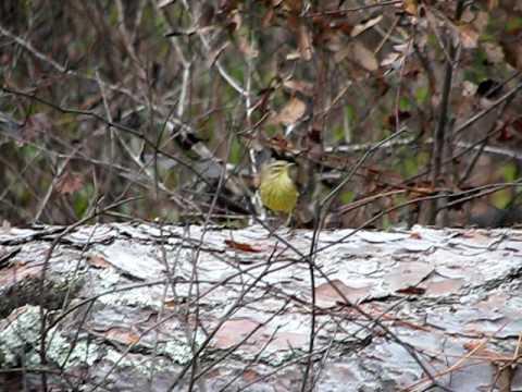 Yellow Palm Warbler - Florida-Nov 2009.avi