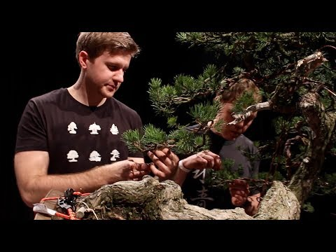 Bjorn Bjorholm creates a Scots Pine Bonsai
