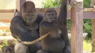 ラブラブなシャバーニ&アイ Lovers of gorilla