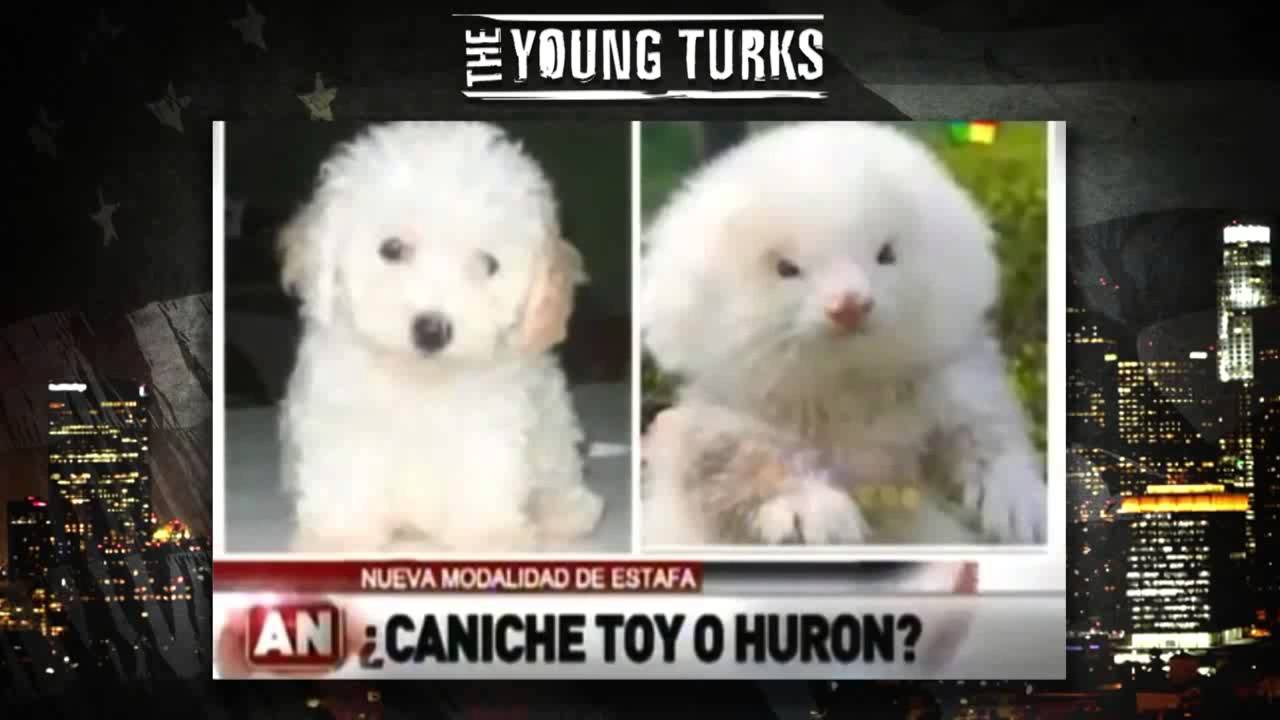 Poodle Scam? Ferrets on Steroids Disguised as Dogs - YouTube