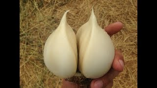 Гигантский чеснок / Технология выращивания озимого чеснока