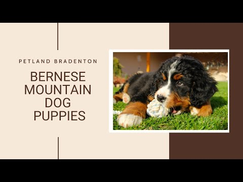 Bernese Mountain Dog Fun Facts