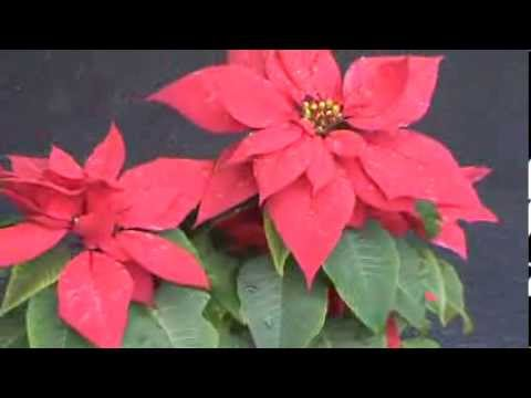 Poinsettia or Christmas Plant - Indoor Flowering Plant Pot on chinese indoor flower plants, 5 easy indoor plants, top 10 indoor plants, best indoor plants, name of orchids, low maintenance indoor plants, common names of indoor plants, low light indoor plants, large indoor plants, blooming indoor plants,