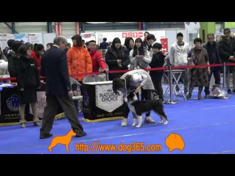 2016.12.11 KKC Best Of Best Dog Show-Australian Shepherd
