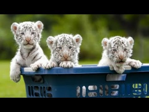 Really Cute Baby White Tiger Triplets