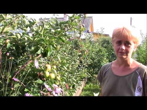 Вопрос: Как и чем укрыть саженец яблони на зиму в Сибири?