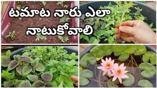 టమాట నారు ఎలా నాటుకోవాలి #How to transplant tomato plants #water lilly వాటర్ లిల్లీ మీకు కావాలా ?