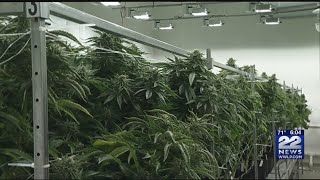 Today's marijuana more potent than in the past