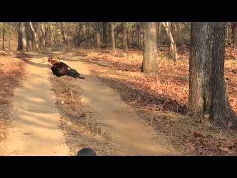 Junglefowl (wild chicken) flying, slowmotion