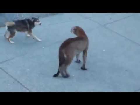 Puma VS Dogs
