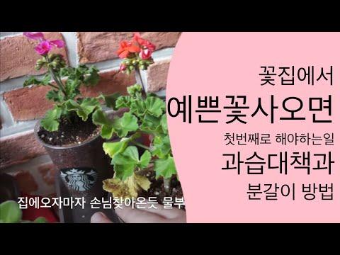 꽃집에서 화초사오면 해야할일 4가지 화초분갈이방법 과습방지방법 벌레생기는 이유