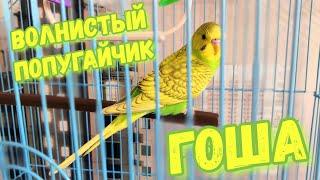 Волнистый Попугайчик ГОША | Знакомство 🐦🐥