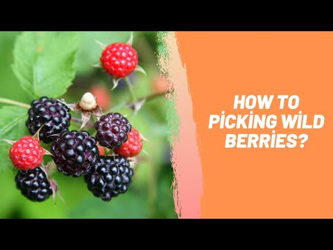 How To Picking Wild Berries?