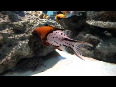 Strange Fish.Lyretail Hogfish.ヒオドシベラ。