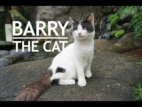 Barry the Cat - Half Breed Turkish Angora