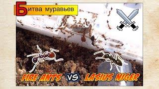 БИТВА МУРАВЬЕВ?! СЕРЬЕЗНО?! Огненные против нигеров // Solenopsis VS Lasius