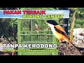 Pakan Terbaik Dan Cara Perawatan Burung Cendet  Mp3 - Mp4 Download