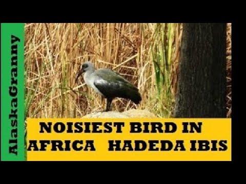 Loudest Bird In Africa Hadeda Ibis