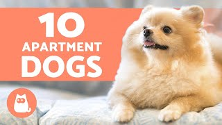 10 BEST APARTMENT DOGS  Breeds for Small Spaces