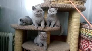 Британские котята, помет V. Возраст 3 месяца