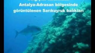 Amberjack Sarıkuyruk akya balığı adrasan çekimleri AVmarketicom