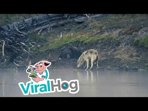 Grizzly Lazily Fends off Its Meal from a Wolf || ViralHog
