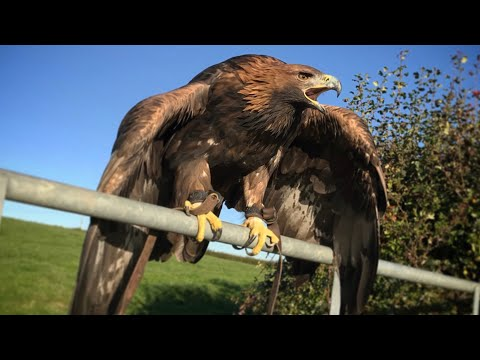 Hunting with Golden Eagles, Season 2018