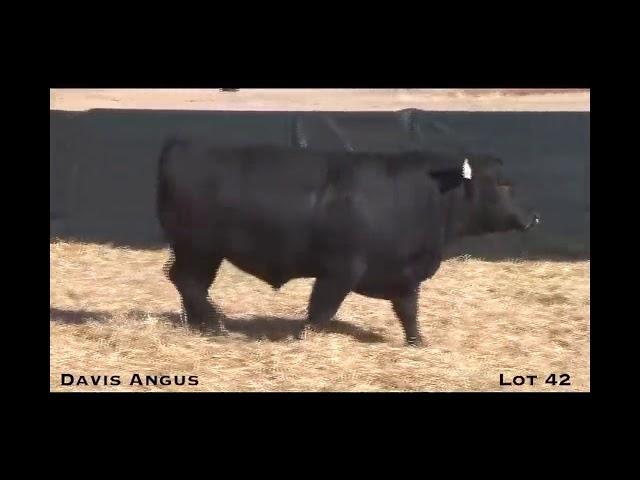 Davis Angus Lot 42