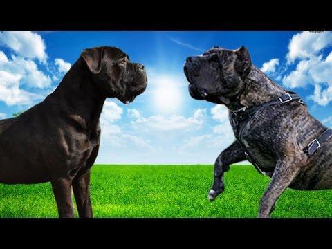 Cane Corso Vs Dogo Canario Highlights Youtube