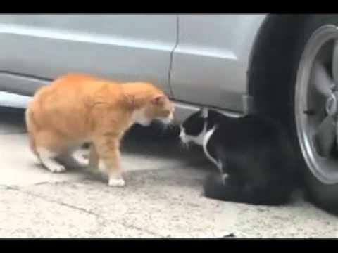 gatos hablando discutiendo animales que hablan chistoso chiste