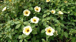 Chanana planta medicinal thumbnail