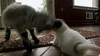 Pipsqueak Headbutts Puppies | Too Cute!