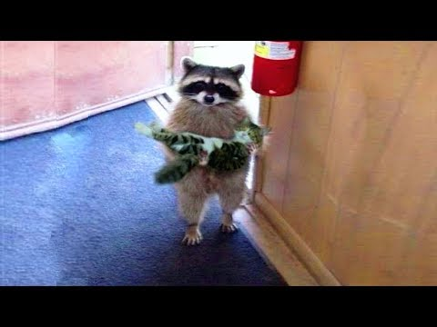 Funniest Moment Between Raccoons And Cats|| FUNNY VIDEO