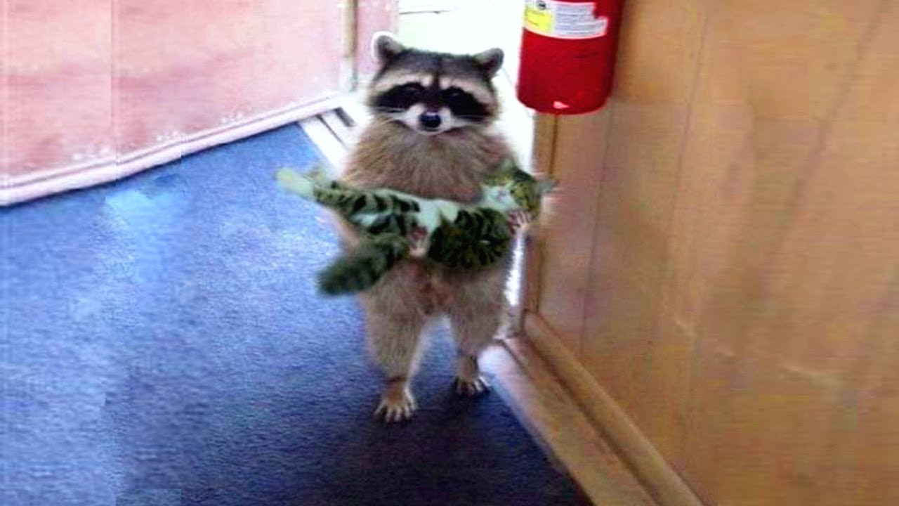Funniest Moment Between Raccoons And Cats Funny Video Youtube
