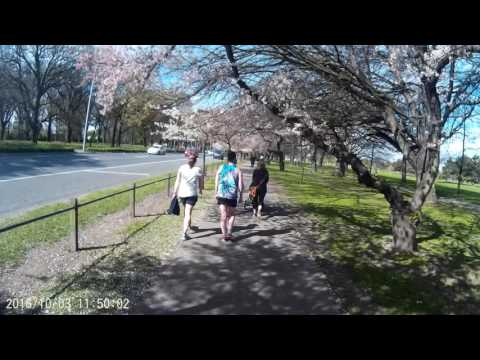 Hagley Park, Christchurch, Cycling under cherry blossomes