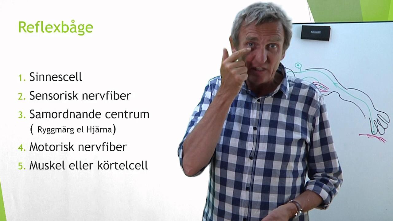 Nervsystemet del 10 ( Reflexbåge)