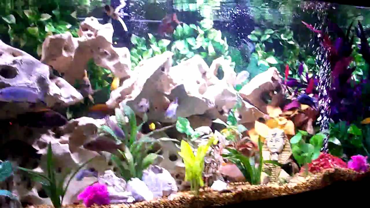 125 gallon cichlid tank decor holey rocks and silk plants for African cichlid rock decoration